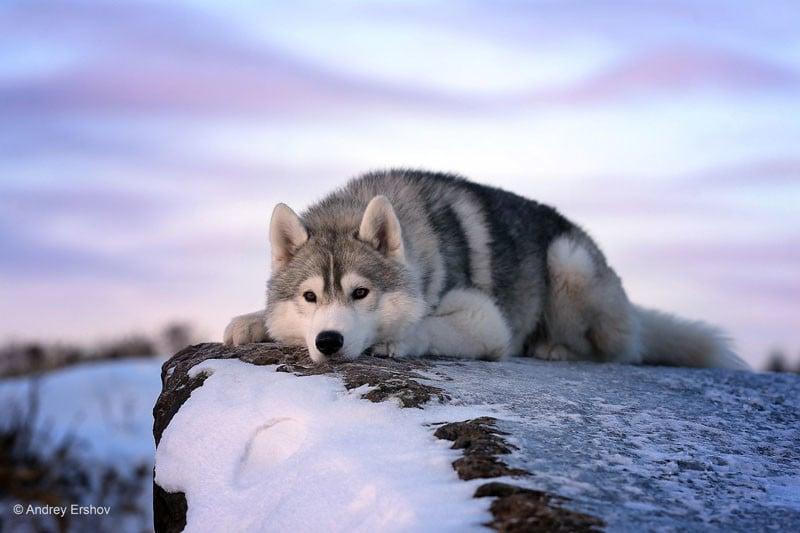 "Dog Portrait 2nd Place Winner, Andrey Ershov, Russia. ""Under the Northern Sun"""