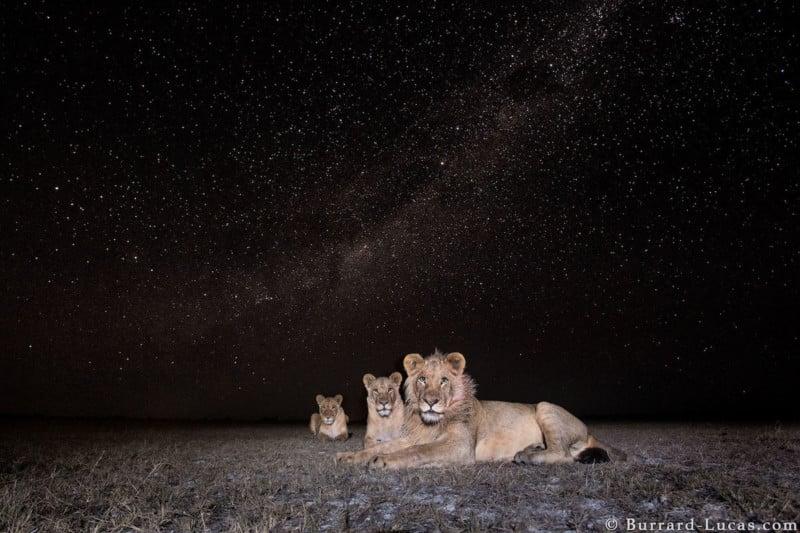 Milky Way Lions