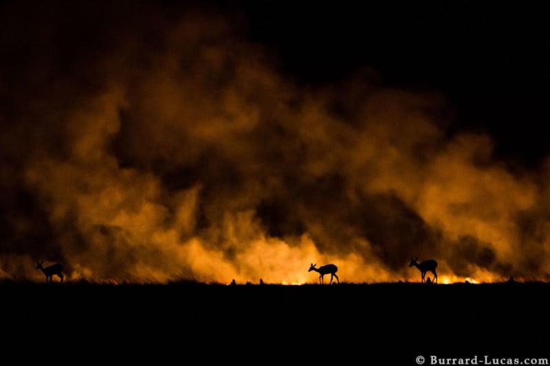 Reedbuck Bushfire