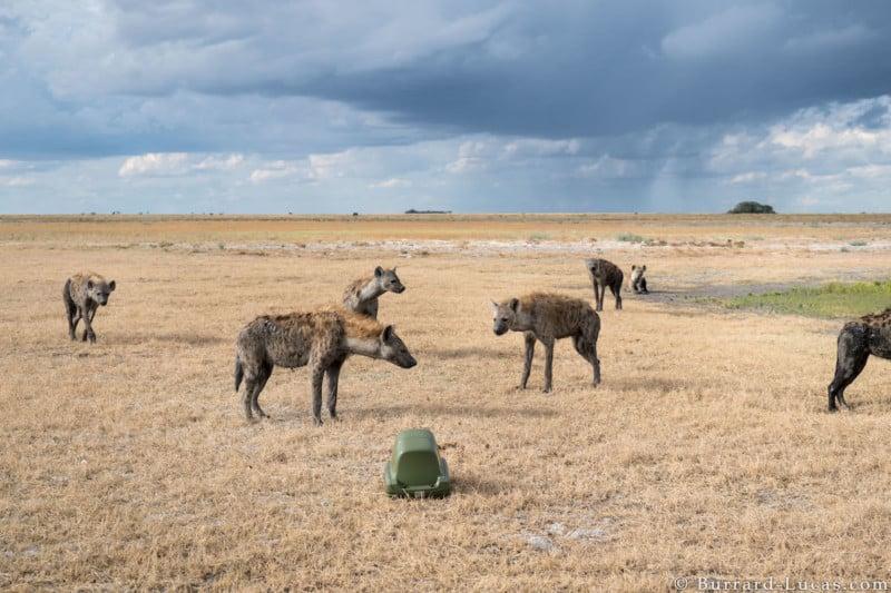BeetleCam and Hyenas