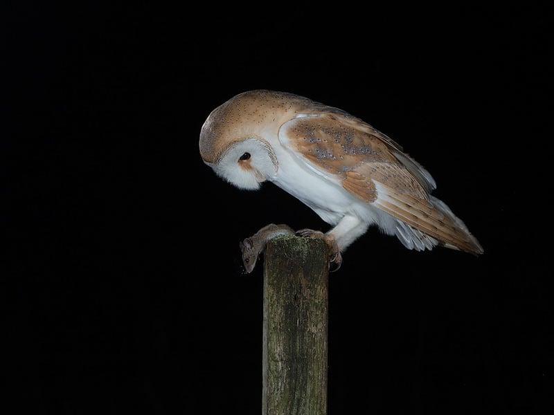 Barn Owl on post.