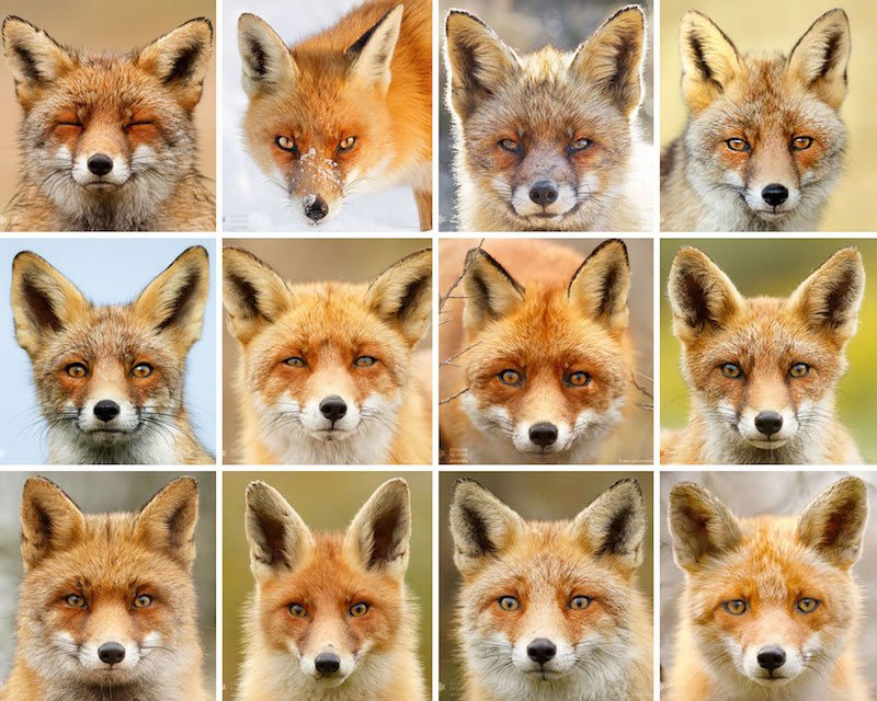 Portraits Of Foxes And Their Unique Personalities Explained