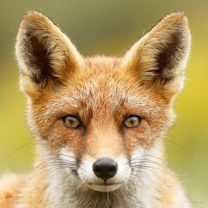 foxfaces_10