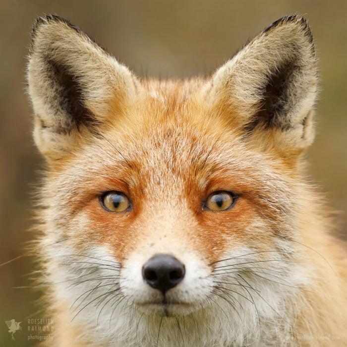 foxfaces_11