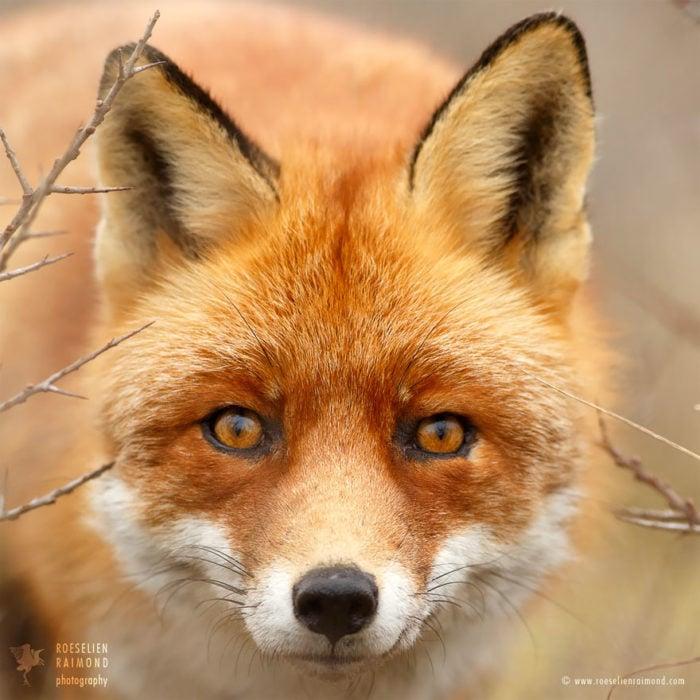 foxfaces_13