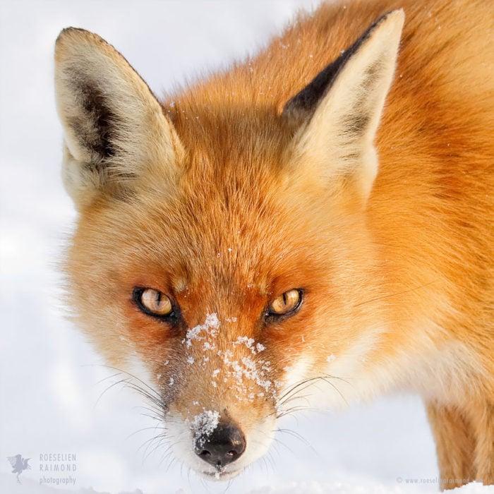 foxfaces_3