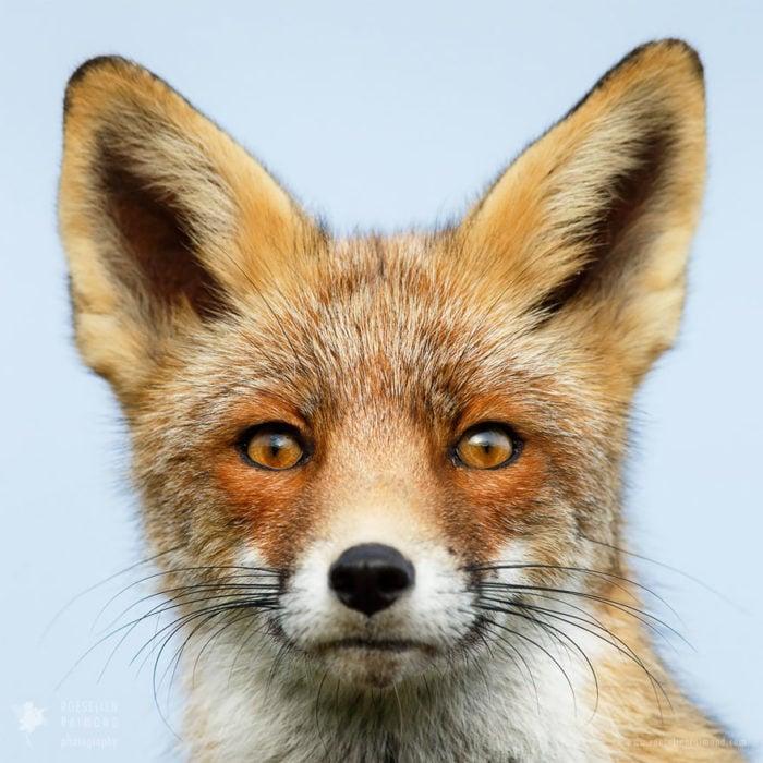 foxfaces_5