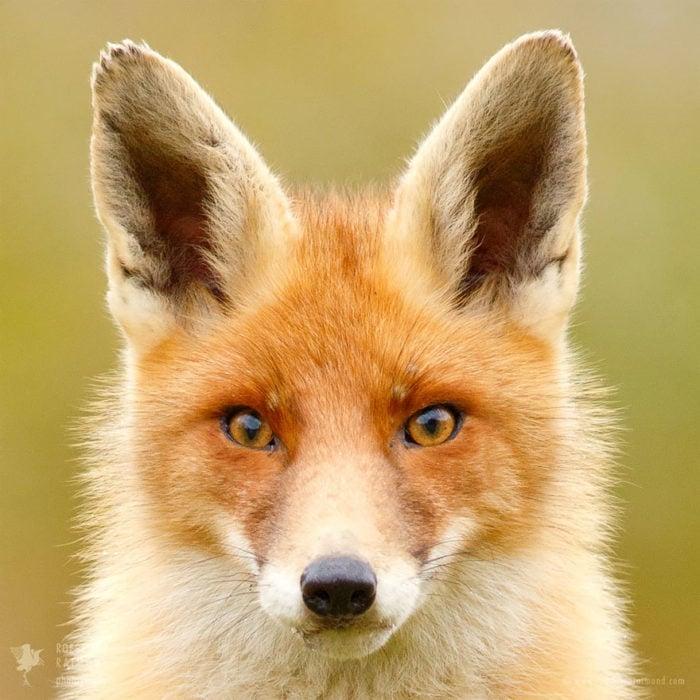 foxfaces_6