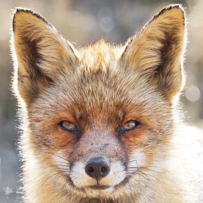 foxfaces_7