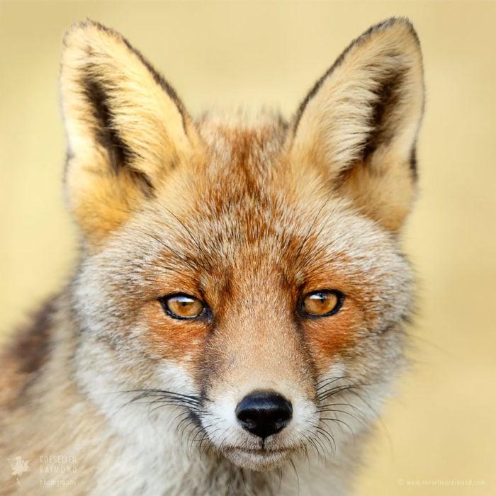 foxfaces_8