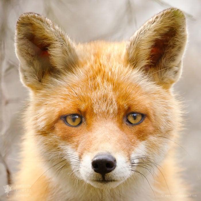 foxfaces_9
