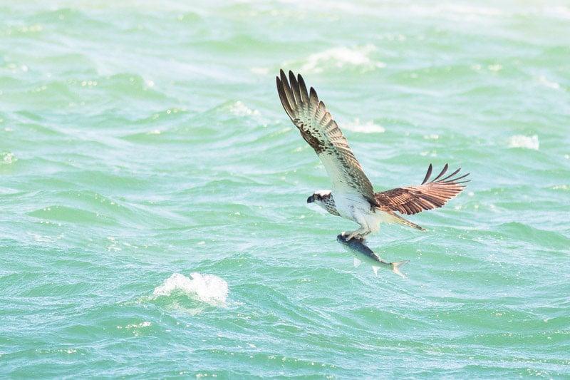Osprey (Pandion haliaetus) and Sea Mullet (Mugil cephalus)