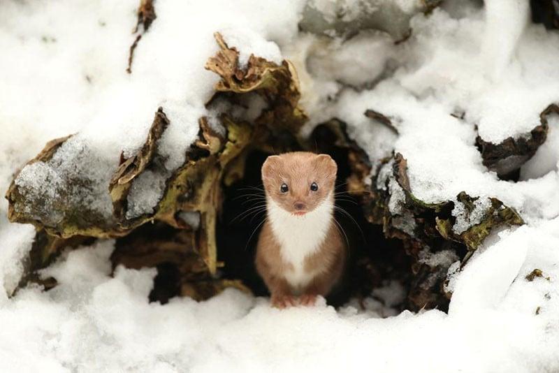 "British Seasons winner. ""Common Weasel"" by Robert E Fuller of North Yorkshire, England."