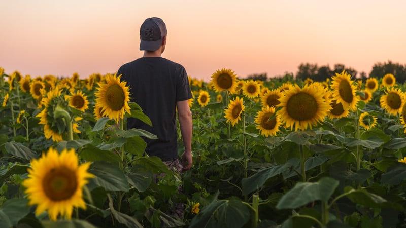 rheffron_sunflowers3