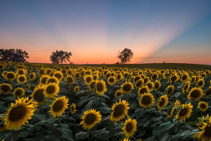 rheffron_sunflowers4