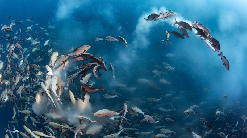 """Snapper Party."" Winner of Underwater. Tony Wu / Wildlife Photographer of the Year"