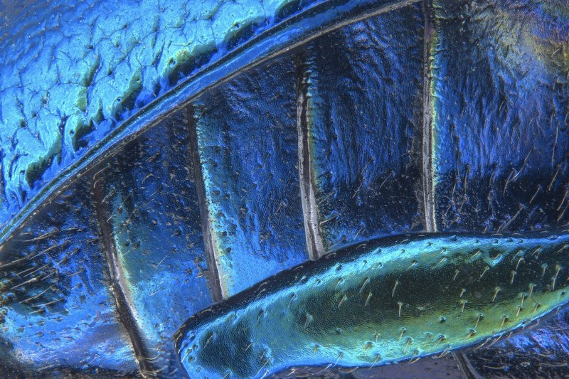Parts of wing-cover (elytron), abdominal segments and hind leg of a broad-shouldered leaf beetle   Photo credit: Pia Scanlon
