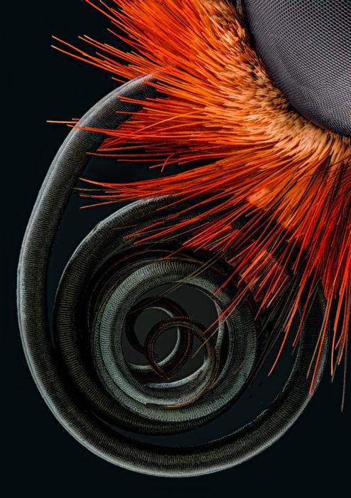 Butterfly proboscis | Photo credit: Jochen Schroeder
