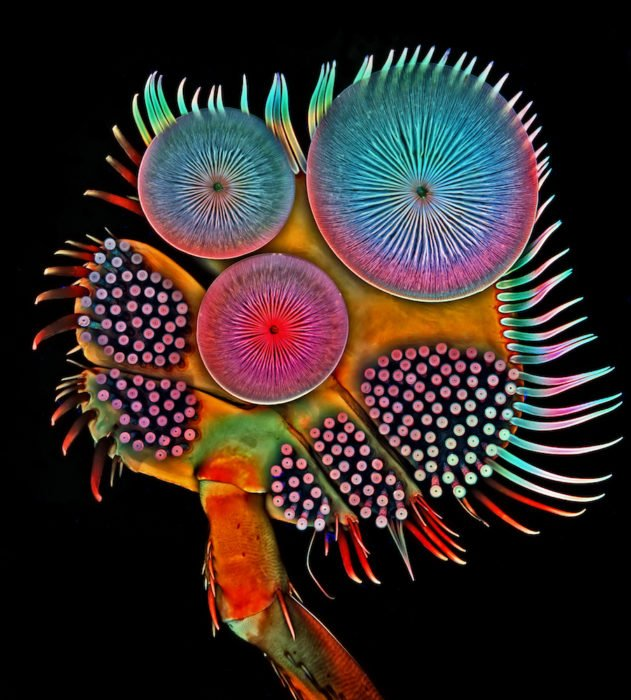 Front foot (tarsus) of a male diving beetle   Photo credit: Dr. Igor Siwanowicz