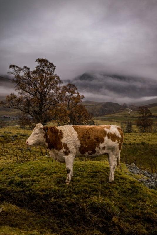 'Bovine Bucolic'