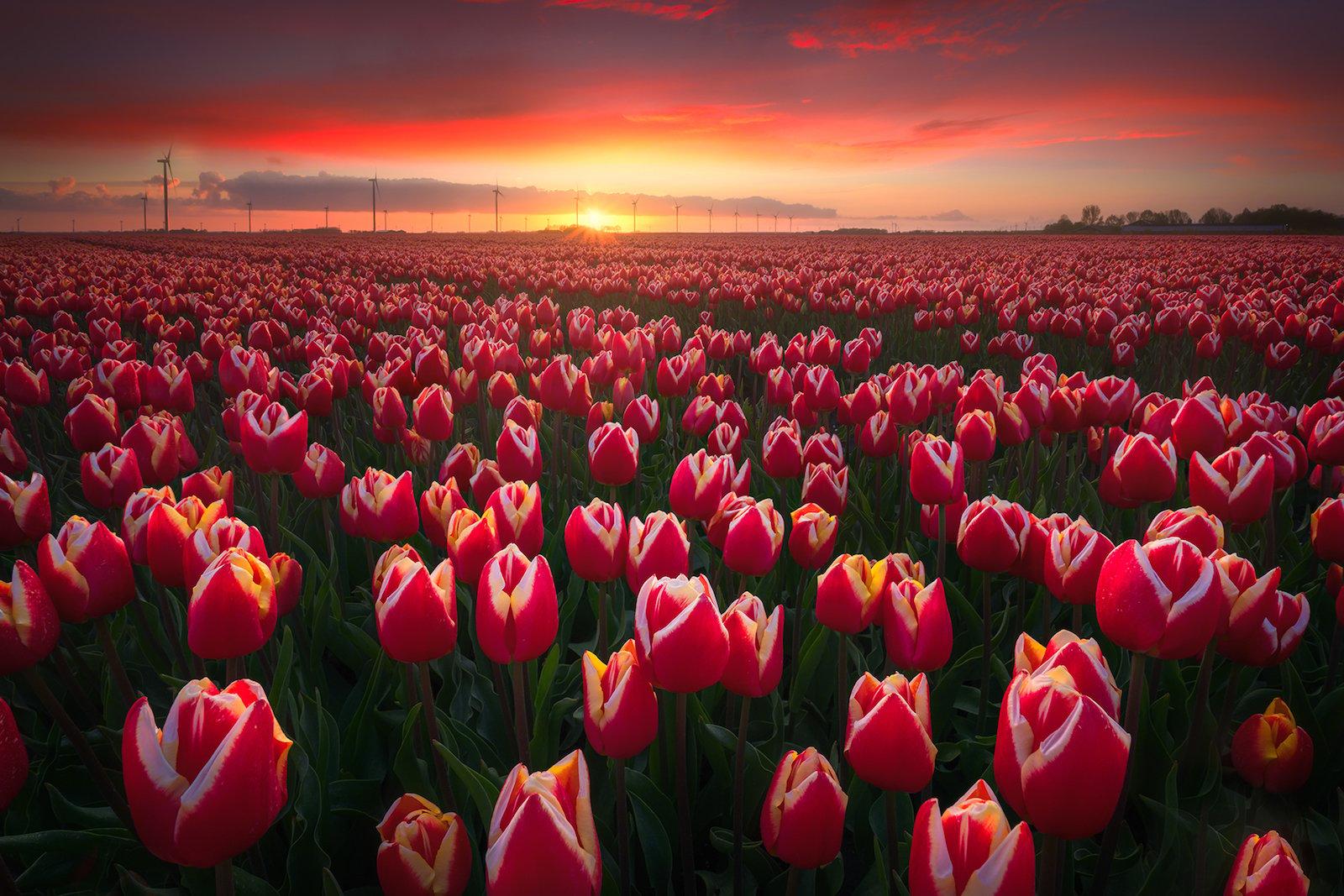 [Image: Endless-Tulips.jpg]