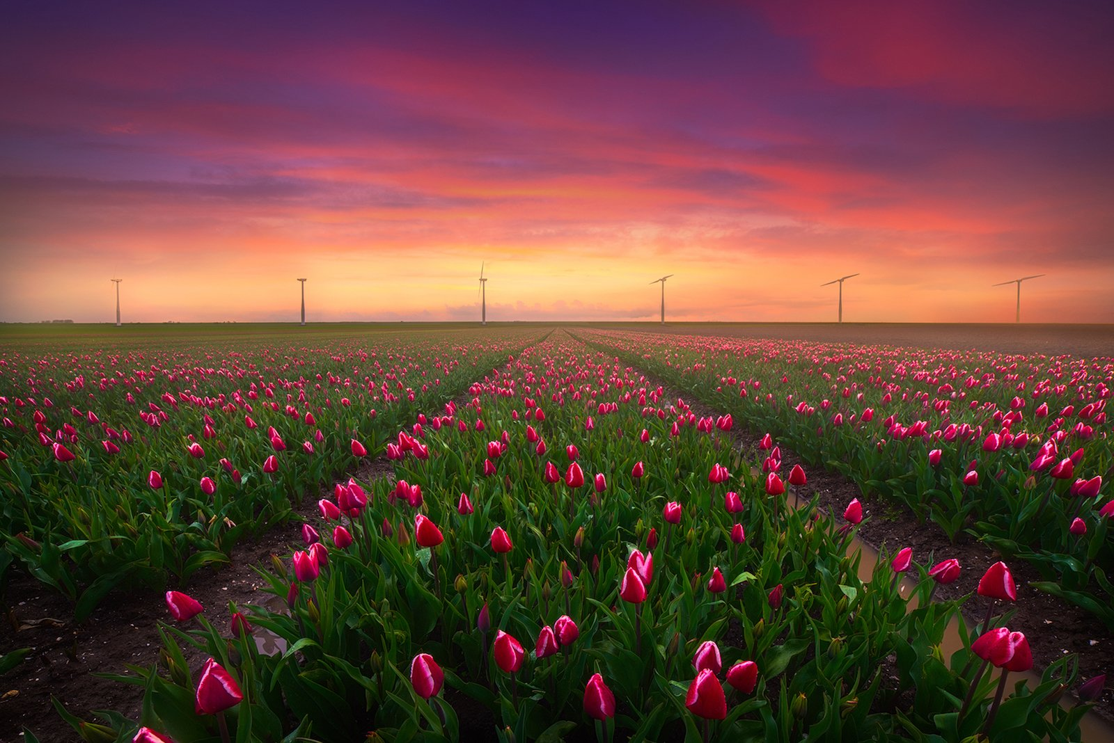 Where And How To Shoot Tulips In The Netherlands