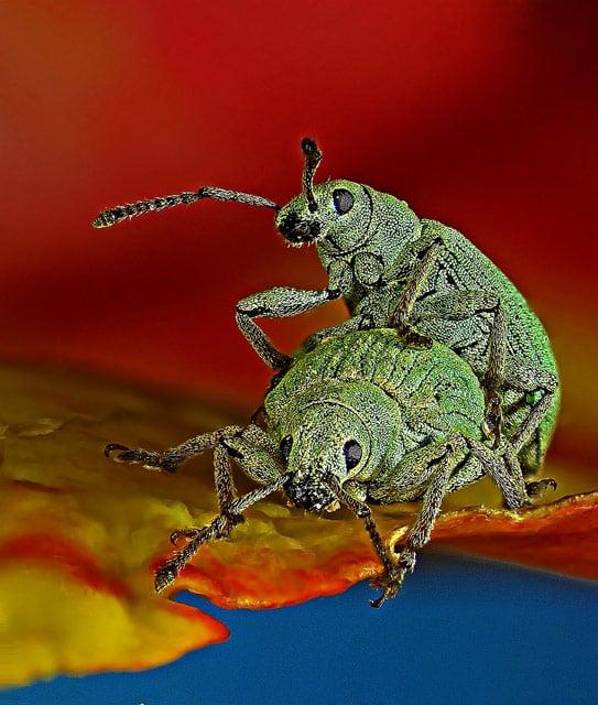10-Phyllobius-roboretanus-4-5-mm-22x.-.j