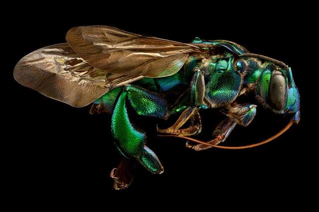 13-Orchid-Cuckoo-Bee_Side-View.jpg