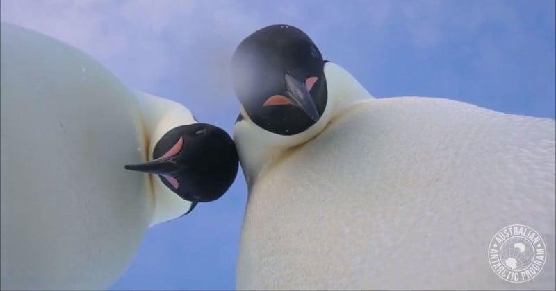 Emperor Penguins Find Camera, Pose for Selfies