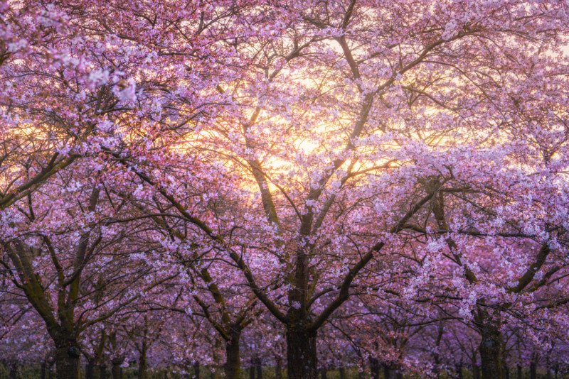 Ive Been Seeing Lots Of Cherry Blossom Photos From Many Friends Who Are Visiting Japan Or Korea For Their Beautiful And Famous Blossoms