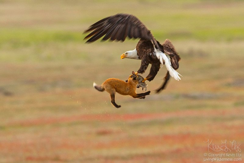 Photographer Captures Eagle and Fox Fighting Over Rabbit in Midair
