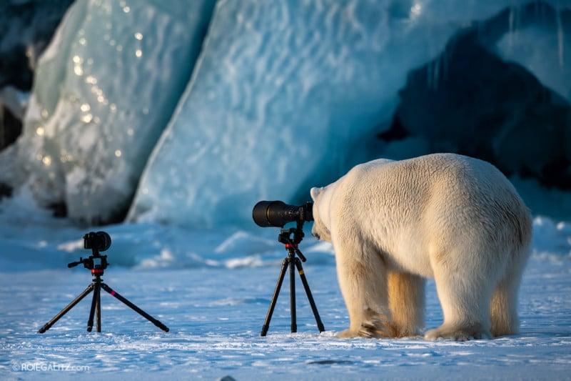 This Polar Bear Wants to be a Wildlife Photographer