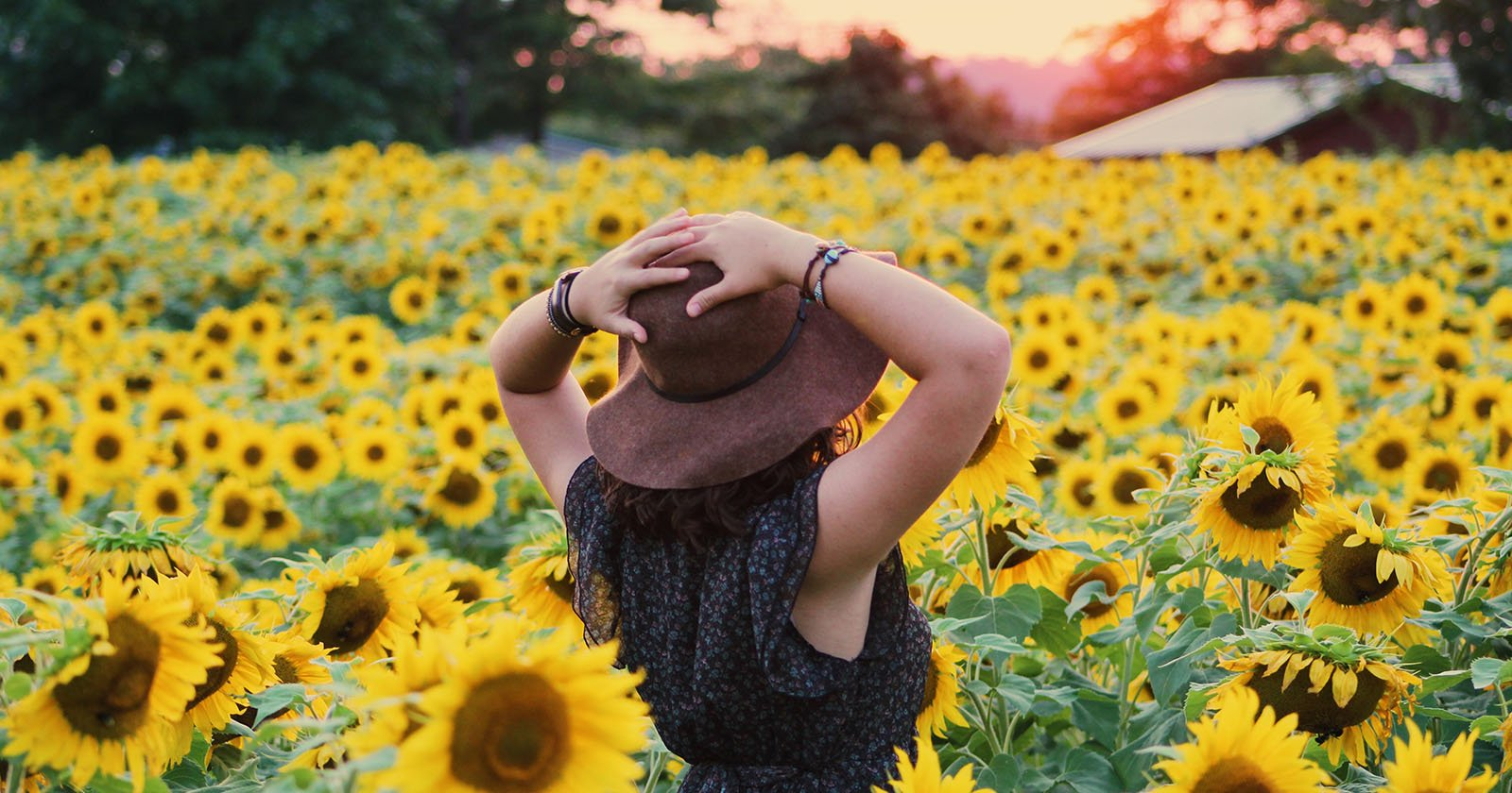 Sunflower Farms Are Being Trampled By Instagram Zombie Apocalypse