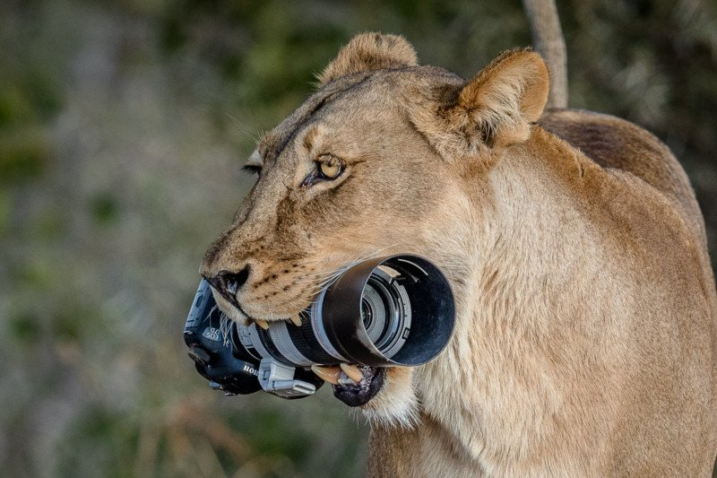 Lioness Steals Photographer\'s Canon DSLR and Gives It to Her ...