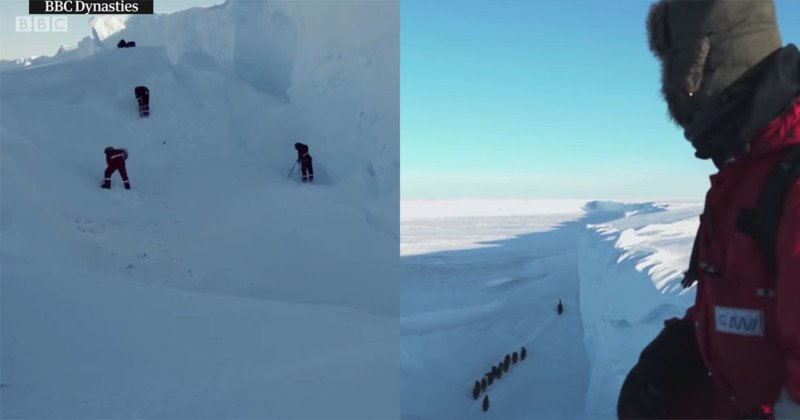 BBC Wildlife Film Crew Intervenes to Save Trapped Penguins