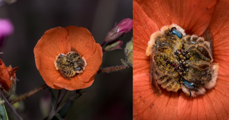 Photos of Bees Sleeping in a Flower