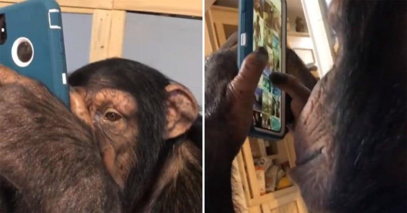 Video of Chimp Browsing Instagram Goes Viral