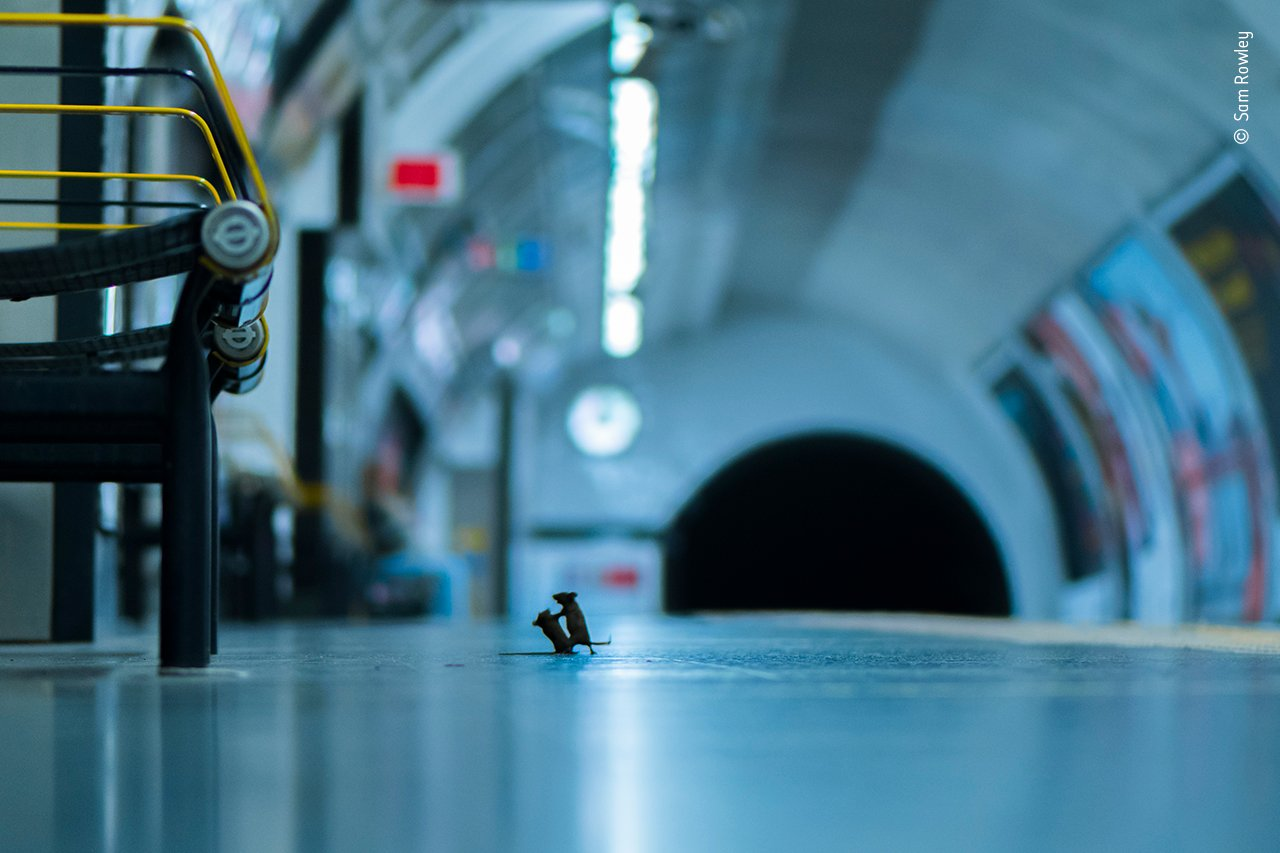 Subway Mouse Fight Wins People's Choice for Wildlife Photographer of the Year