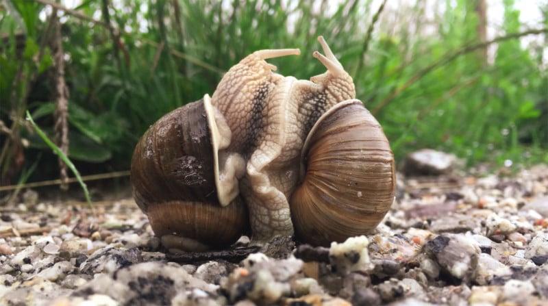 Lockdown Inspiration: Photographing Loving Snails