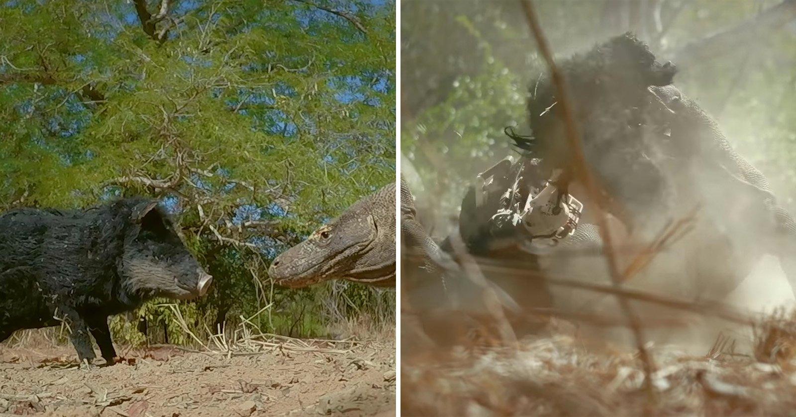 Robot 'Spy Pig' Camera Destroyed by Territorial Komodo Dragons