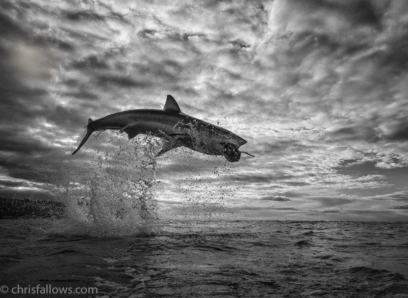 Photographer Captures Stunning Shot of Great White Shark 12ft in the Air