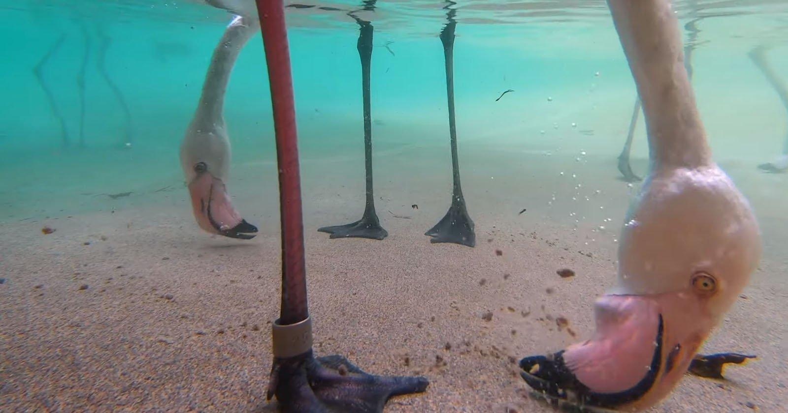 Underwater Camera Reveals the Weird Way Flamingos Eat
