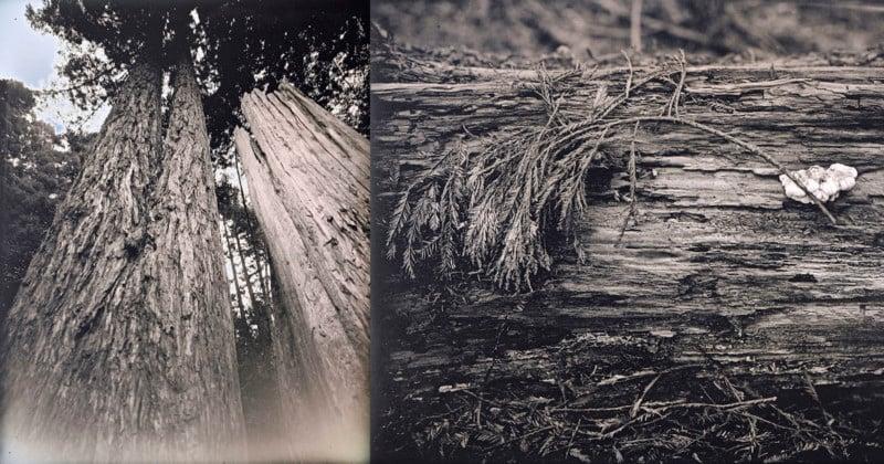 Shooting Daguerreotypes of California Redwoods