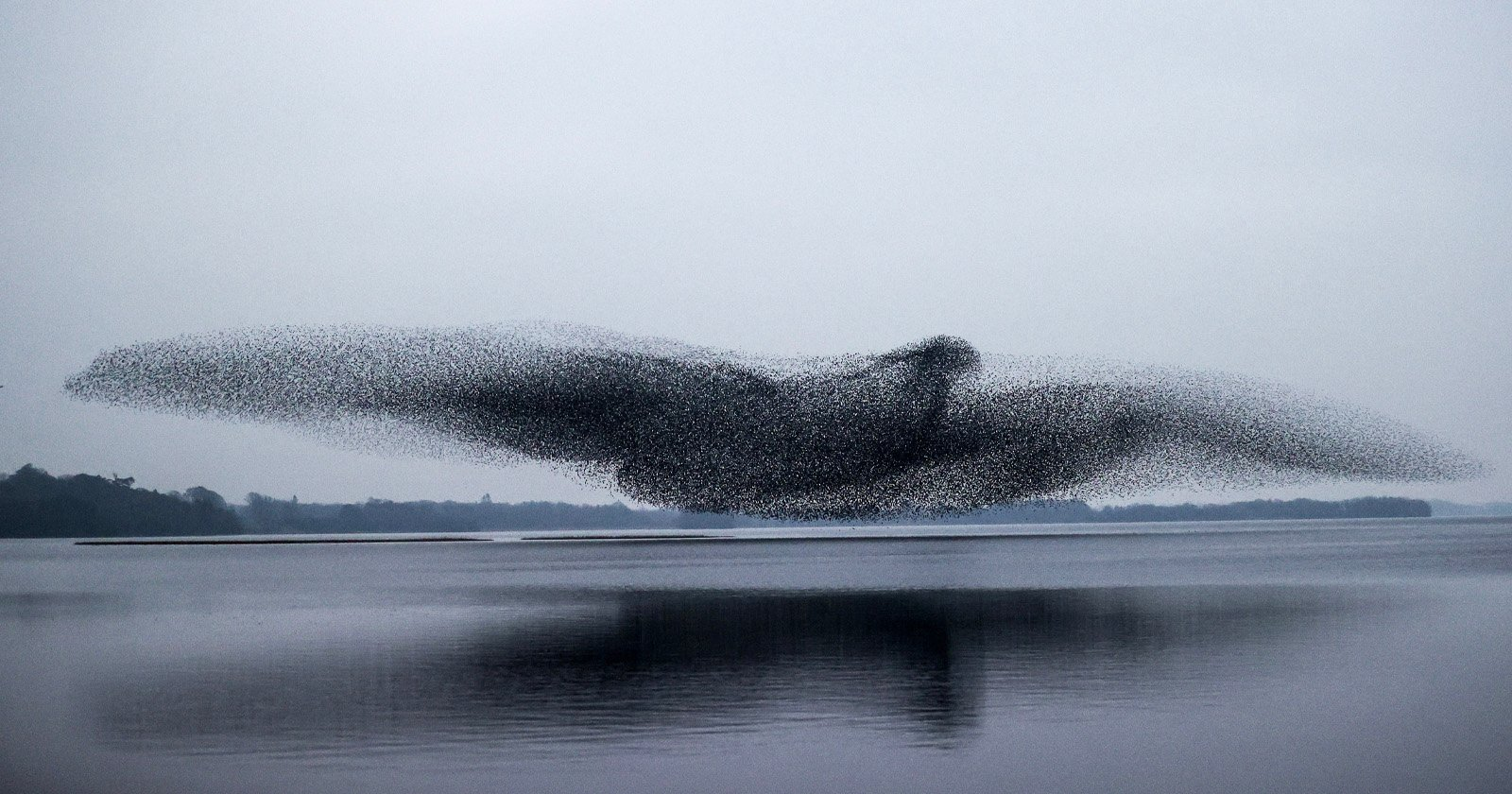 Photographer Captures Stunning Bird-Shaped Starling Murmuration