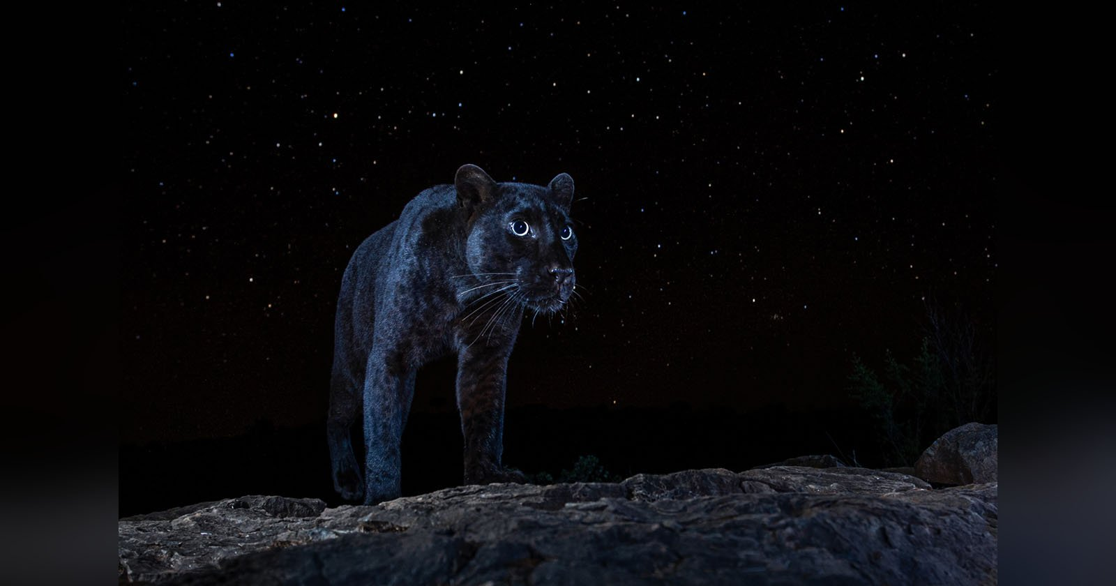 Photographer Captures the Ultra-Rare Black Panther Under the Stars