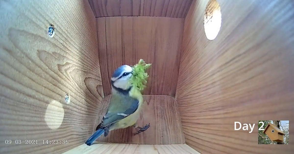 Guarda questa casetta per uccelli passare dal nido vuoto al primo uovo in 8 minuti