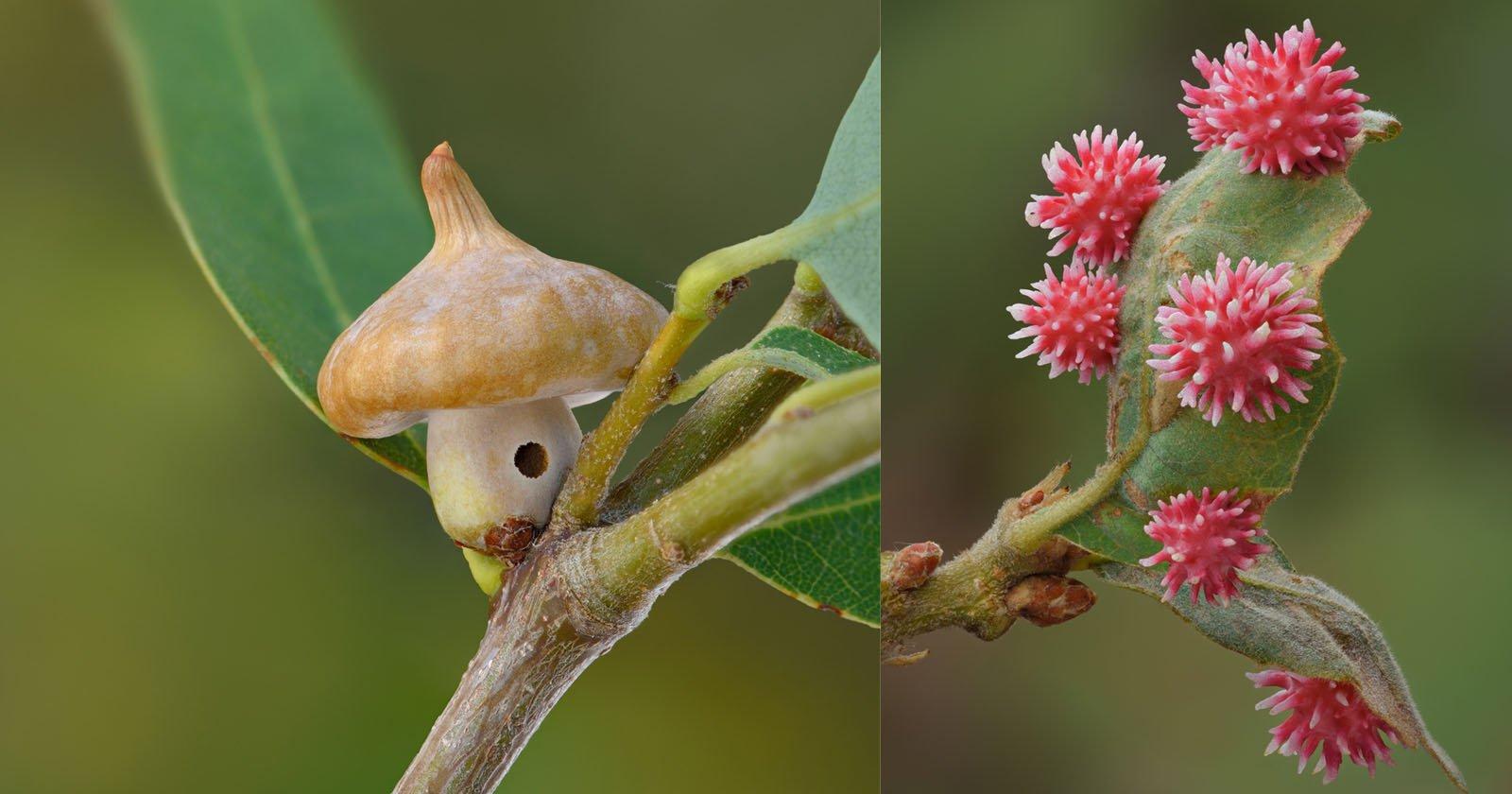 Foto macro di escrescenze di piante causate da piccole vespe