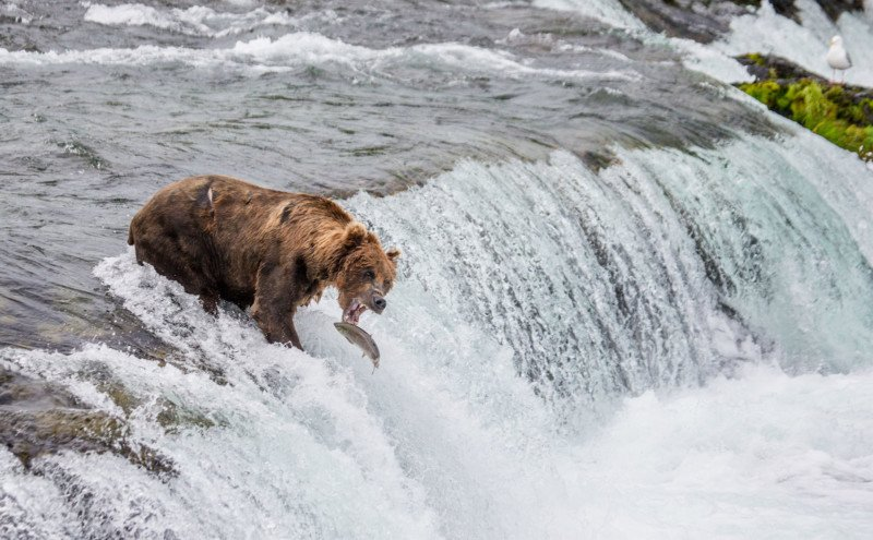 Man Busted Getting Into Water with Grizzlies for Photos 13