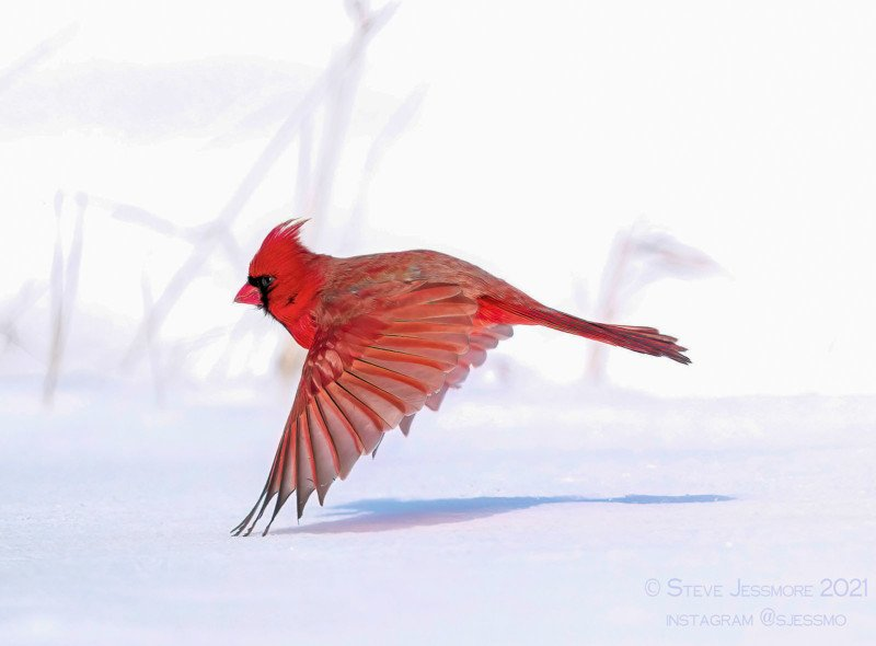 A northern cardinal flies at snow level from weed to weed searching for seeds to eat. 01/2021 © Photography by Steve Jessmore, Steve Jessmore Photography