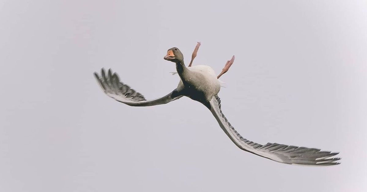 Photographer Captures Goose Flying Upside Down